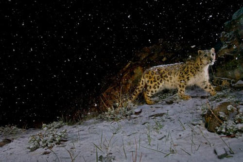 Steve Winter - Snow Leopard