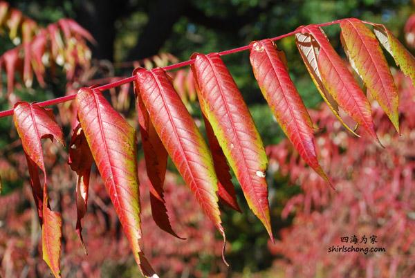 多伦多 High Park 内的红叶