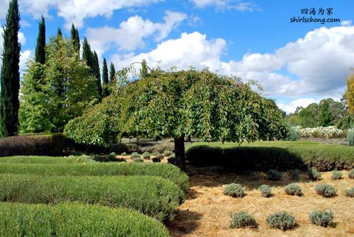 Lavender farm, Daylesford, VIC, Australia