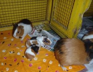 Surprise! Guinea Pig Babies