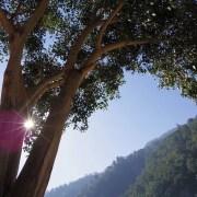 rishikesh-tree