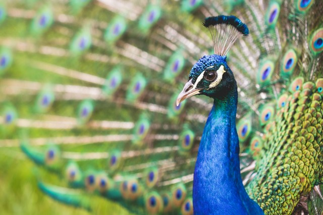 Confident Peacock Flaunting His Colors