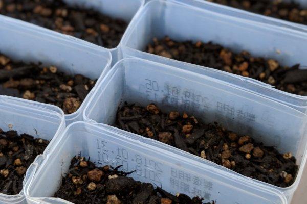 家庭菜園でしし唐・唐辛子は効率良く生産できる?これが我が家の種まきだ!