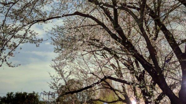 2019年東京桜開花!Pixel3の夜景モードの夜桜は、驚きの「夜桜感」なし!