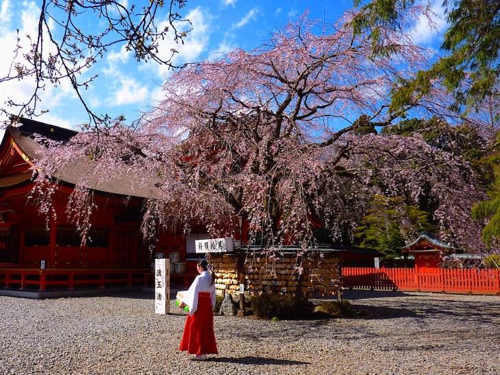 富士山本宮浅間大社拝殿前に咲く信玄桜