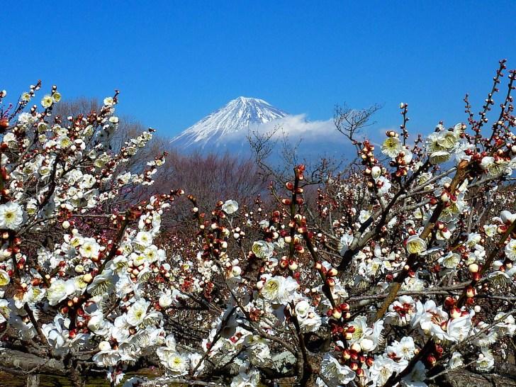 岩本山公園の梅園から眺める富士山