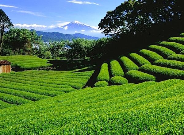 茶畑越しの富士山が定番の絶景シーン