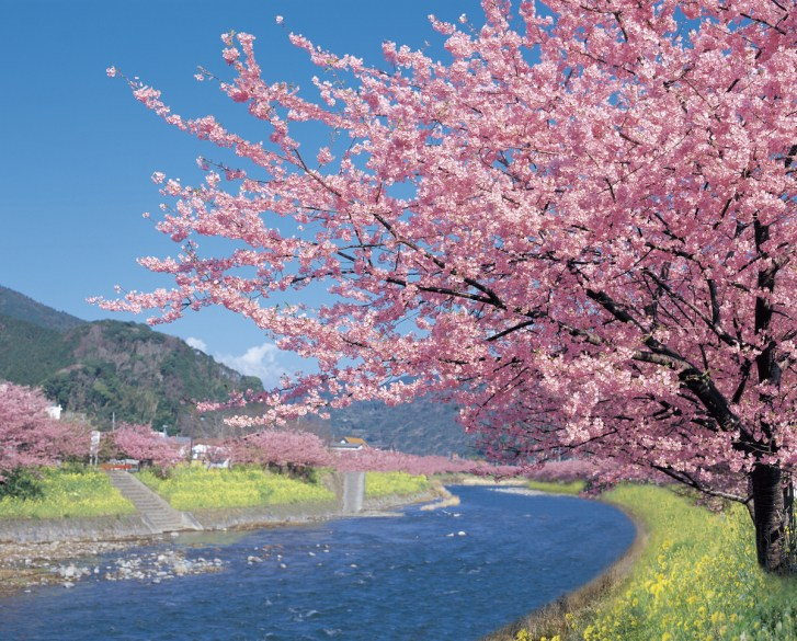 見つかっ の 苗 の た 桜 が は 原木 河津