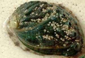 AWABI-EZO-1