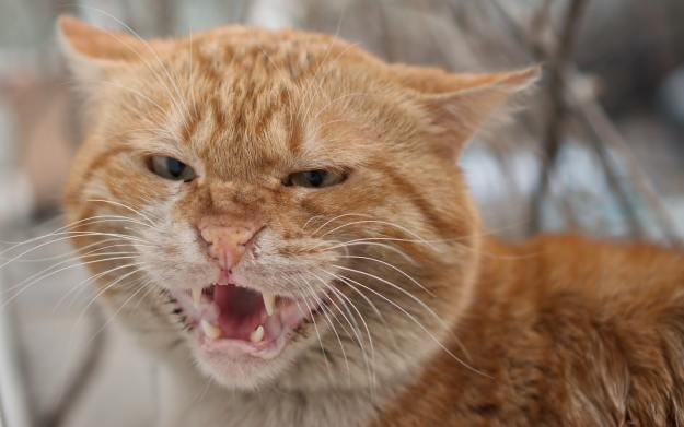 Angry cat that looks like it's yelling