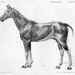 Horse Anatomy By Herman Dittrich Full Body Musculature Shoestring Stable