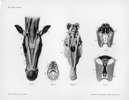 Horse anatomy by Herman Dittrich – underjaw