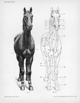 Horse anatomy by Herman Dittrich - front view