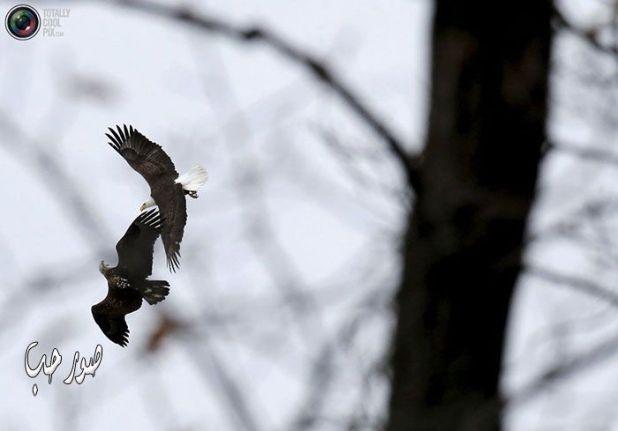 صور طيور محلقة صور نسور صقور طائرة في الجو
