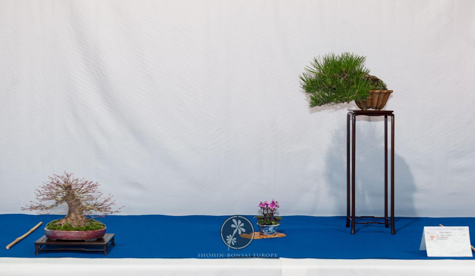 Pinus thunbergii, Acer palmatum - Andy Jordan.