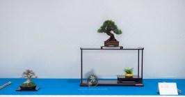 Pinus thunbergii, Acer buergerianum - Søren Meyer.
