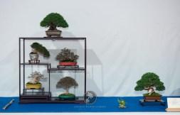 Pinus parvifolia, Trachelospermum asiaticum `Nana`, Pyracantha augustifolia, Acer palmatum, Zelkova serrata, Juiperus chinensis `Itoigawa` - Rita and Mark Cooper.