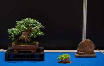Satsuki Azalea