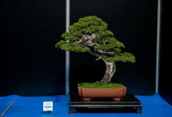 Grand prix winning tree, Juniper, by Jan Novotny, Czechoslovakia.
