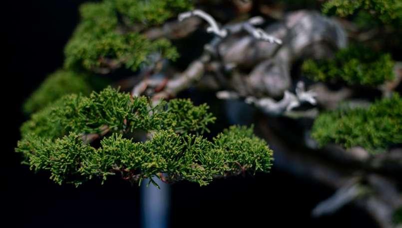Grand prix winning tree, Juniper, by Jan Novotny, Czechoslovakia.
