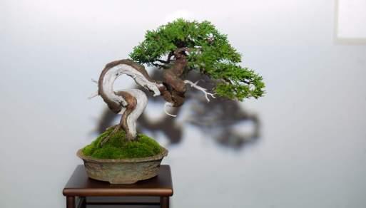 Juniperus - Ronan Le Bras.