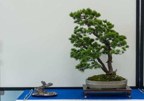 Jesper Kristensen. Pinus pentaphylla.