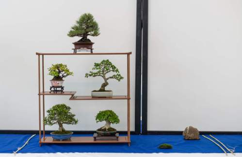 Søren Meyer. Pinus thunbergii, Satsuki Azalea, Acer buergerianum, Chaenomeles.