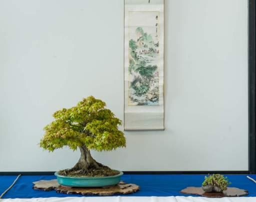 Bonsai - hædrende omtale. Erik Pedersen, Acer palmatum, Japansk Ahorn.