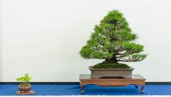 Jesper Kristensen. Pinus thunbergii.