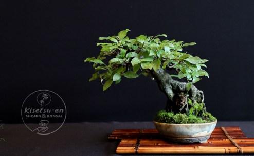 Prunus avium.