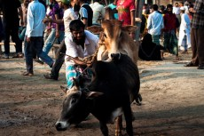 A bull trying to mount a cow, while being taken to the market. The seller trying to handle the situation.