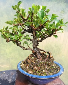 Chojubai Bonsai Tree