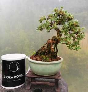Shohin Potentilla Bonsai tree