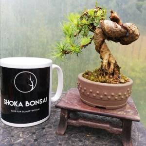 Larch Shohin Bonsai