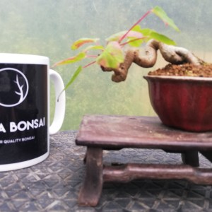 Mame Acer Bonsai