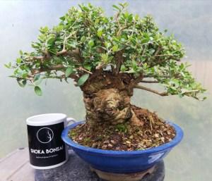 Sumo Olive bonsai Tree
