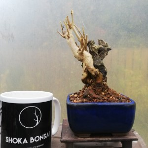 Callicarpa Beauty Berry Bonsai Tree