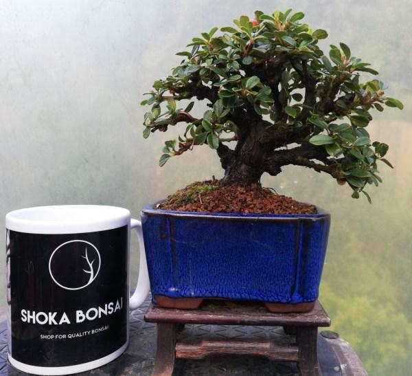 Cotoneaster Shohin Bonsai