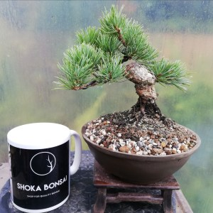 White Pine Shohin Bonsai