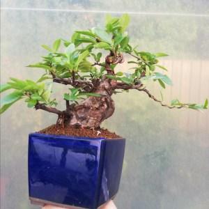 Shohin Pyracantha Bonsai Tree