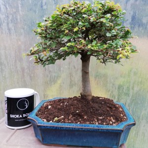 Broom Chinese Elm Bonsai