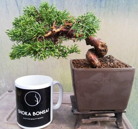 Chinese Juniper Bonsai Tree