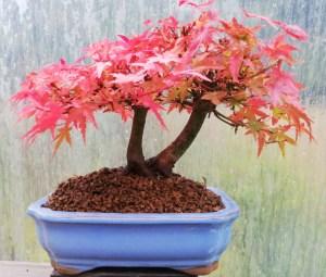 Acer Japanese Maple Bonsai