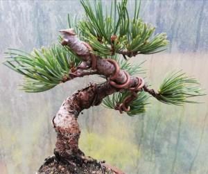 Japanese White Pine Bonsai Tree