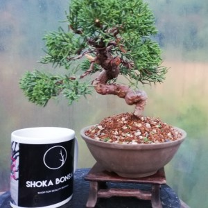 Chinese Juniper shohin Bonsai