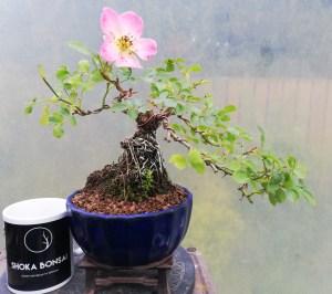 Shohin Dwarf Rose Bonsai Tree