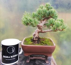 Shohin Japanese White Pine