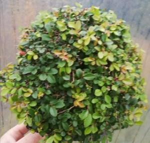 Shohin Chinese Elm Bonsai Tree