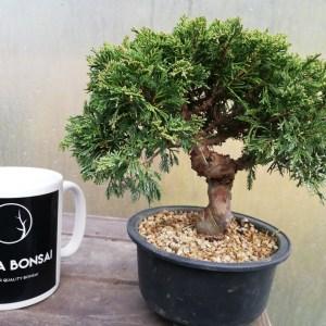 Juniper Itiogawa Bonsai Tree