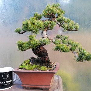 Japanese White Pine Specimen